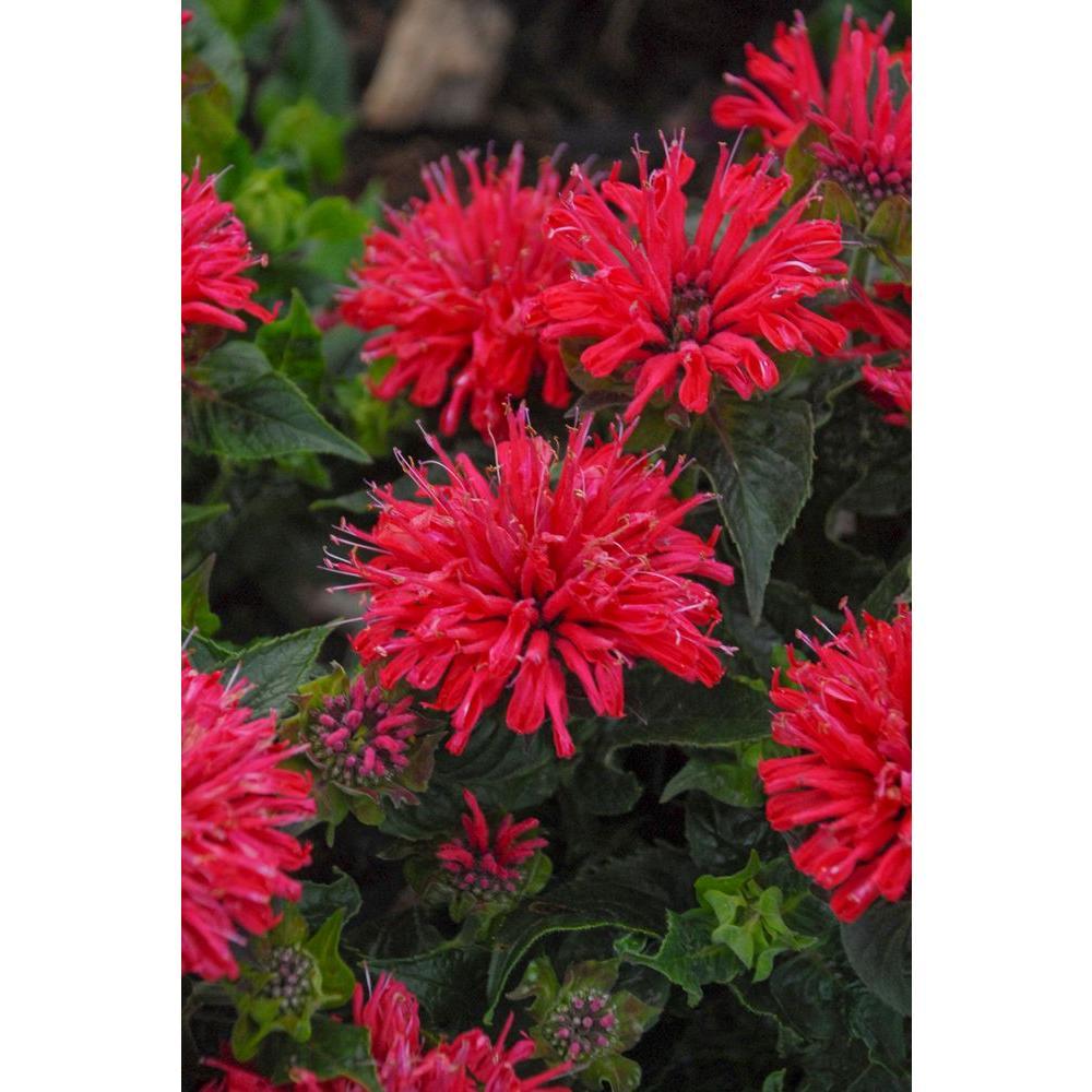 Pardon My Cerise Bee Balm (Monarda) Live Plant,Dark Pink Flowers, 0.65 Gal.