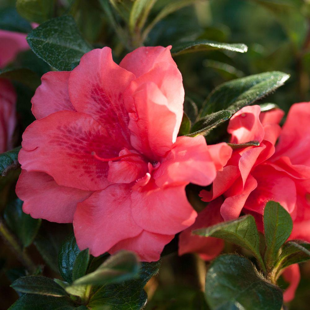 2 Gal. Autumn Princess - Re-Blooming Evergreen Shrub with Ruffled Pink