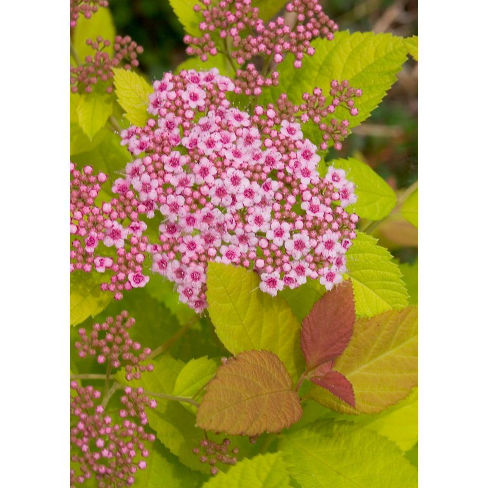 Proven Winners Double Play Big Bang ColorChoice Spirea - 4.5 in. Quart