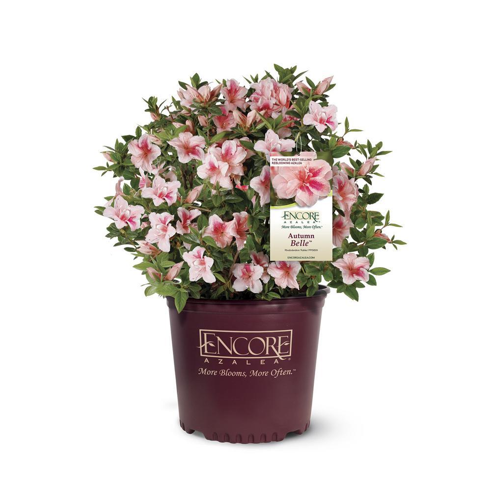 Encore Azalea 2 Gal. Autumn Bell Shrub with Pinkish White Flowers