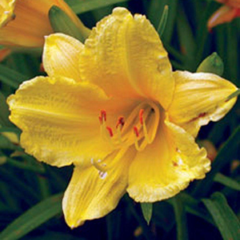 25 qt happy returns daylily live perennial plant pale yellow 25 qt happy returns daylily live perennial plant pale yellow flowers mightylinksfo Choice Image