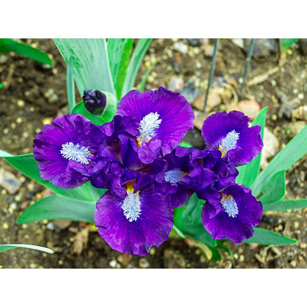 Trajectory Dwarf Bearded Iris Purple and White Flowers Live Bareroot Plant
