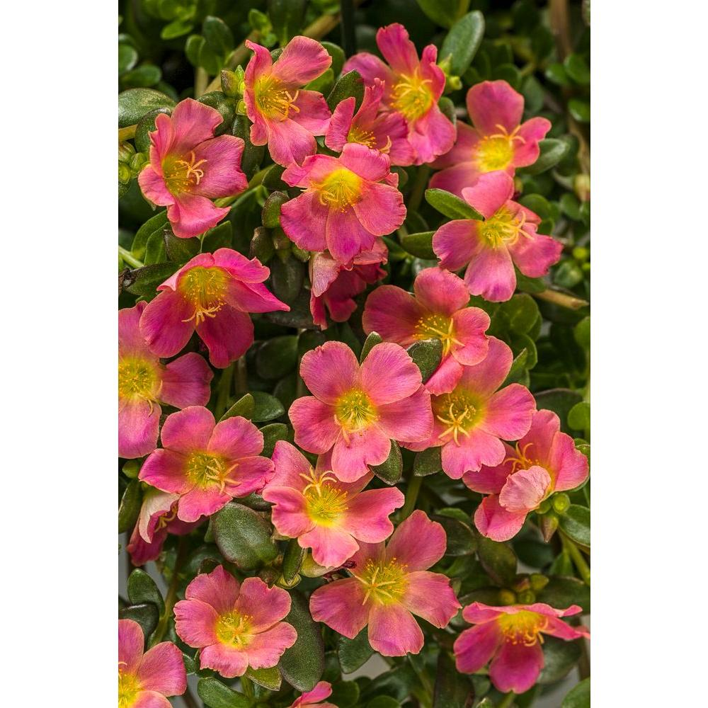 Mojave Pink Moss Rose Portulaca Live Plant Flowers 4 25 In Grande Pack