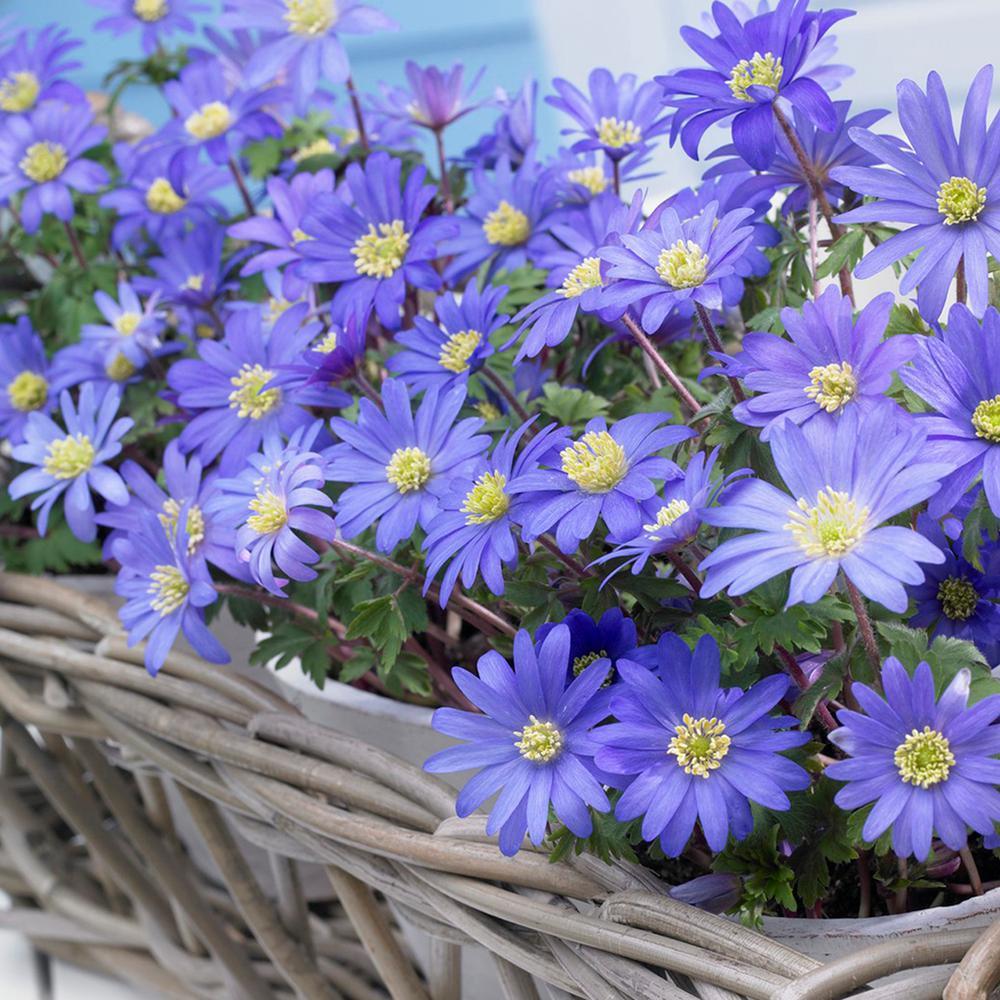 Wind Flowers Bulbs Anemone Blue Shades (Set of 50)