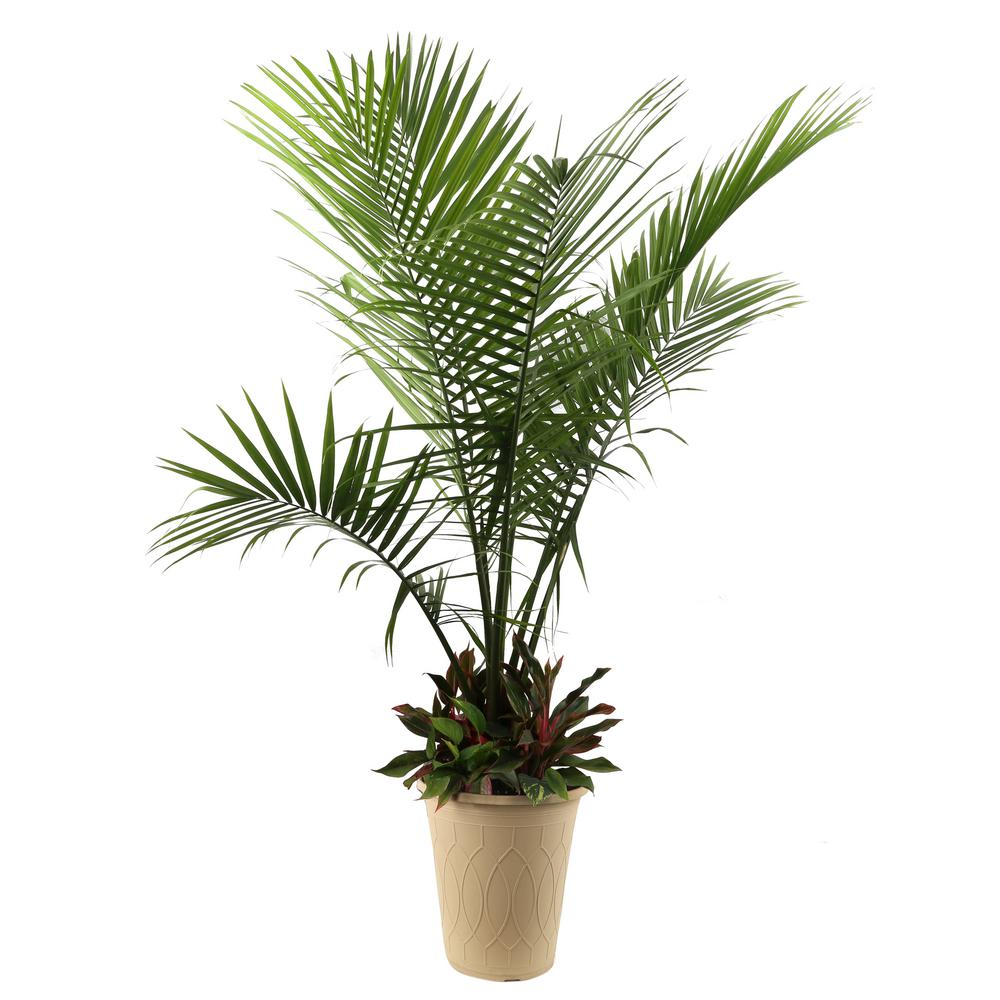 Costa Farms Blooming Combo Kit Including Majesty Palm And