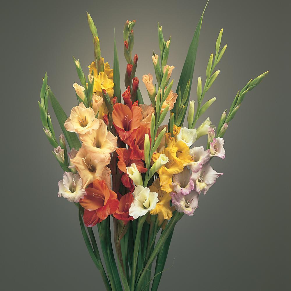 Blended Gladiolus Bulb (12-Pack)