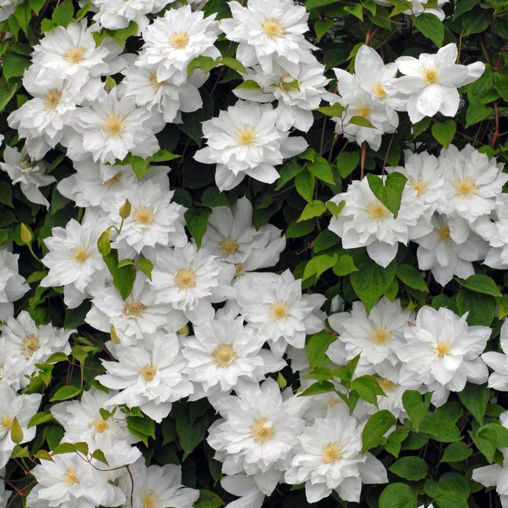 White full sun perennials garden plants flowers the home depot isago clematis live bareroot plant white flowering perennial mightylinksfo