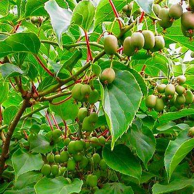 3 in. Pot Issai Hardy Kiwi Actinidia Live Potted Fruiting Plant (1-Pack)