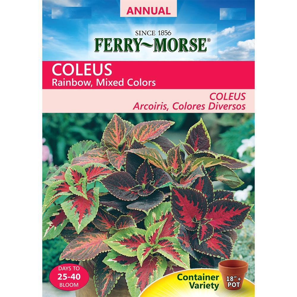 Coleus Rainbow Seed