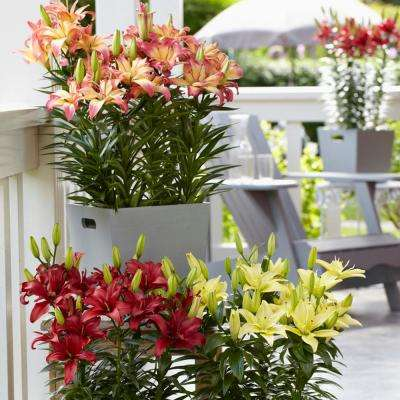 Pollen Free Patio Container Assorted Colors Lily Collection Bulbs (9-Pack)
