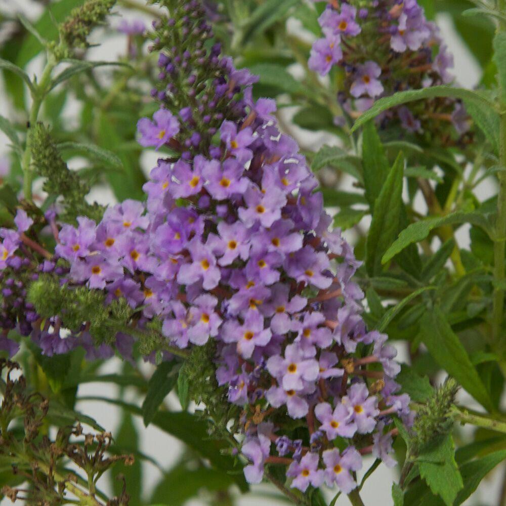 3 Gal. Sky Blue Buzz Buddleia With Purplish Blue Panicle Bloom