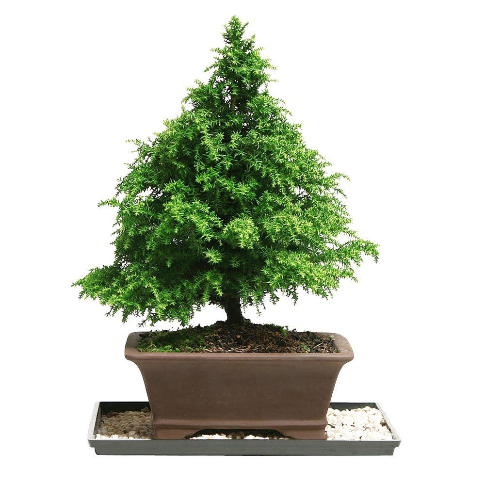 Brussel's Bonsai Dwarf Cryptomeria Bonsai