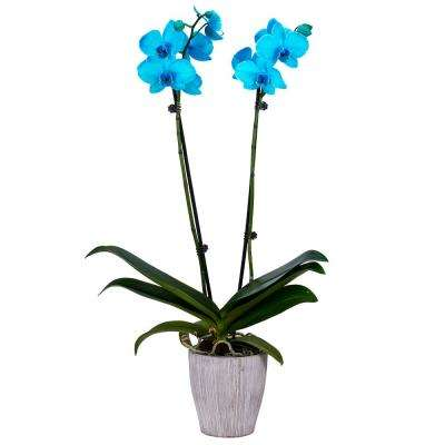 5 in. Orchid Aqua Color Fused in Container