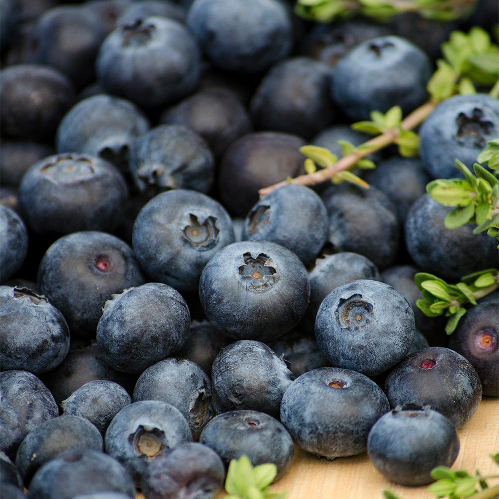 Toro Blueberry (Vaccinium), Live Bareroot Plant, White Flowering Fruiting Shrub (1-Pack)