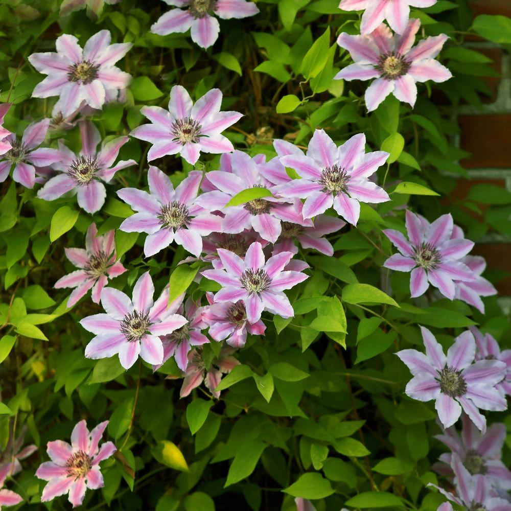 null Clematis Nelly Moser Dormant Plant (1-Pack)