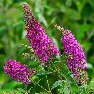 4 in. Pot Color Crush Butterfly Bush (Buddleia) Live Deciduous Flowering Shrub (1-Pack)