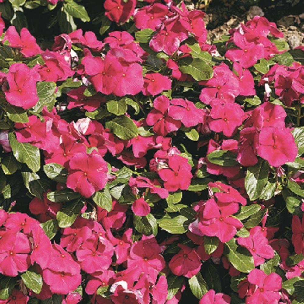 Proven winners cora burgundy vinca catharanthus live plant bright proven winners cora burgundy vinca catharanthus live plant bright purple pink flowers izmirmasajfo