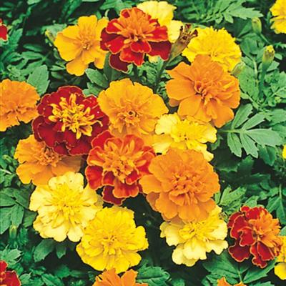 Marigold Boy O' Boy Flower Seed Mixture (40 Seed Packet)