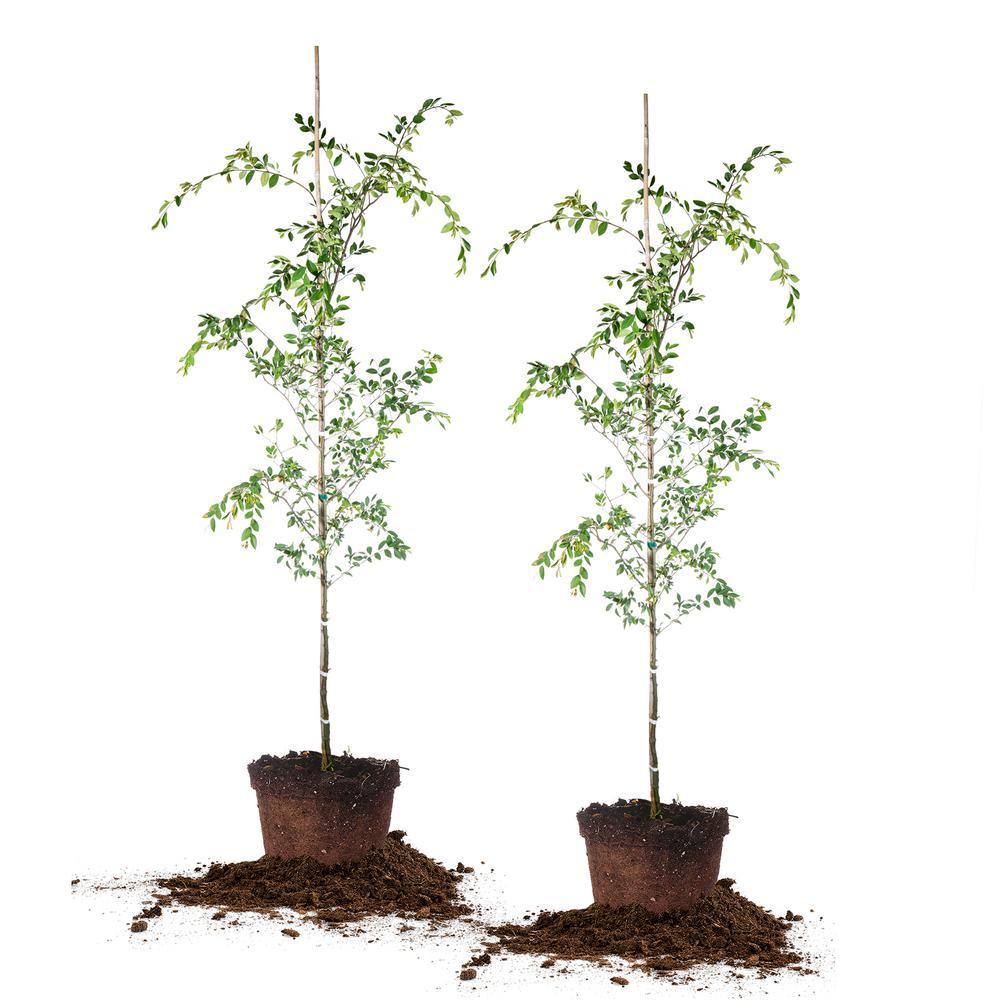 5 Gal. Drake Elm Tree (2-Pack)