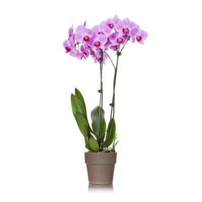 Pink 5 in. Rustic Orchid Plant in Terra Cotta Pot (2-Stems)