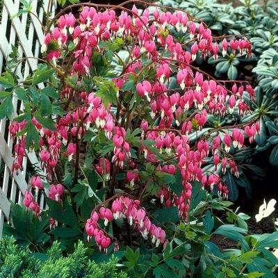 Bleeding Hearts Roots (5-Set)