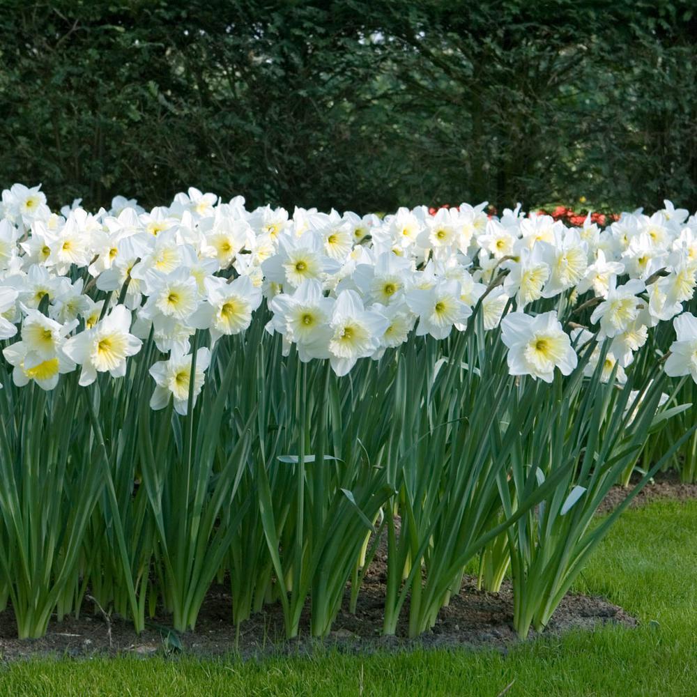 Daffodil Bulbs 100