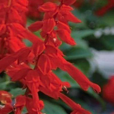 Red perennials garden plants flowers the home depot 25 qt saucy red salvia live blooming perennial plant mightylinksfo