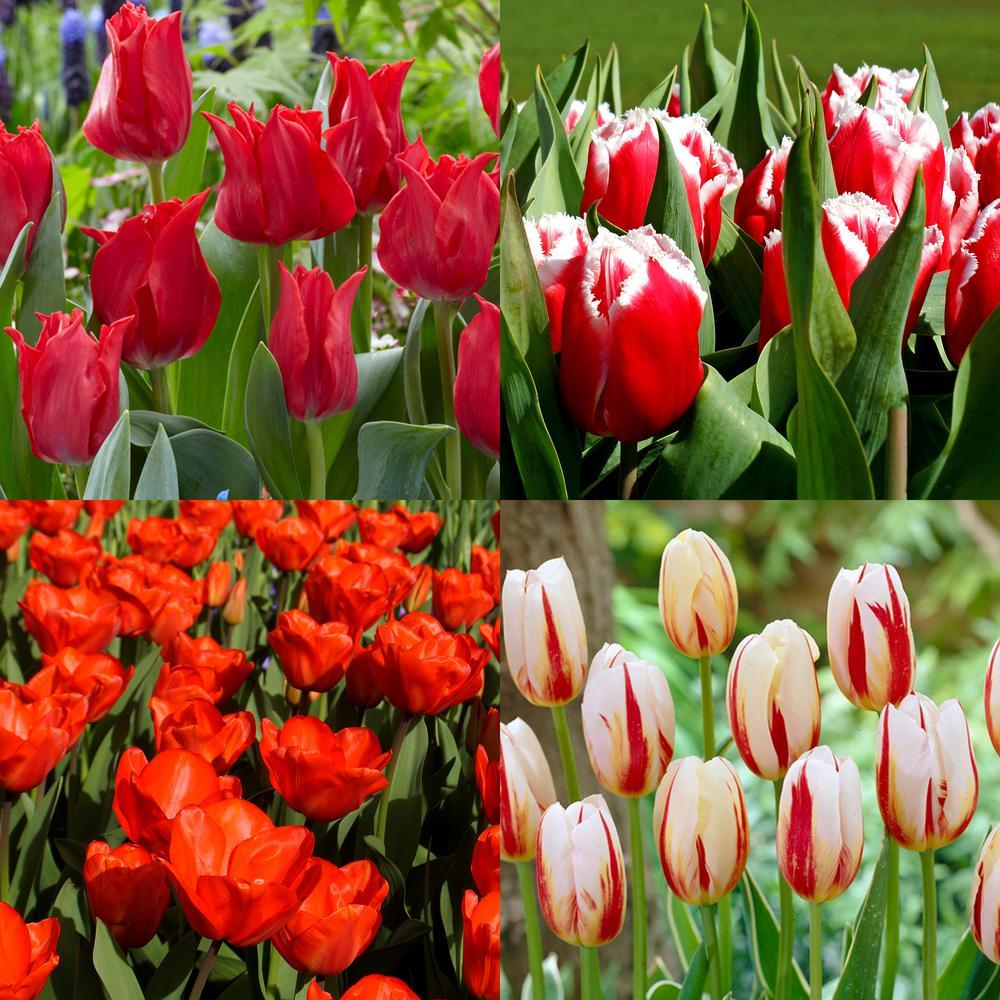 Black flower bulbs garden plants flowers the home depot blend royal highness bulb collection 12 pack izmirmasajfo