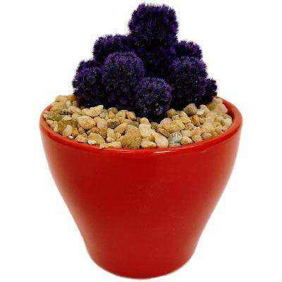Purple Desert Gems in 4 in. Colorful Euro Red Ceramic
