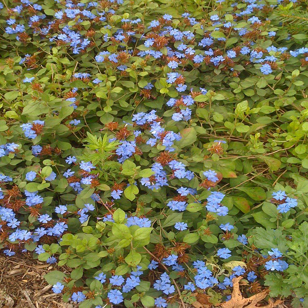 Full sun blue perennials garden plants flowers the home depot 1 gal dwarf plumbago plant izmirmasajfo