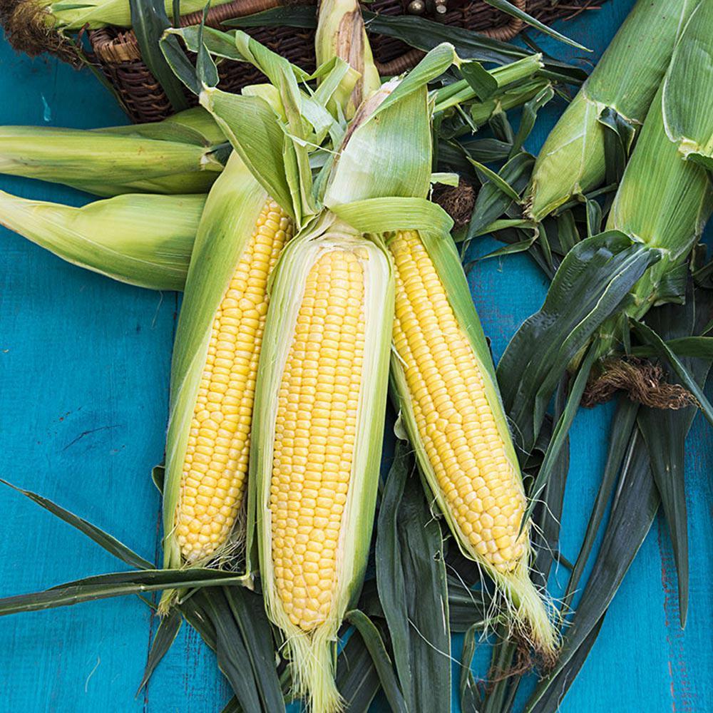 Sweet Corn Honeygold Hybrid (250 Seed Packet)