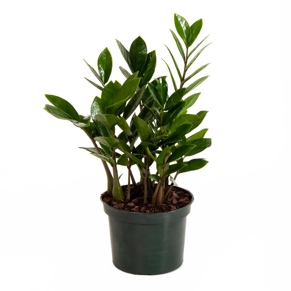 ZZ Plant in 6 in. Grower Pot on jade plant home depot, indigo plant home depot, lipstick plant home depot,