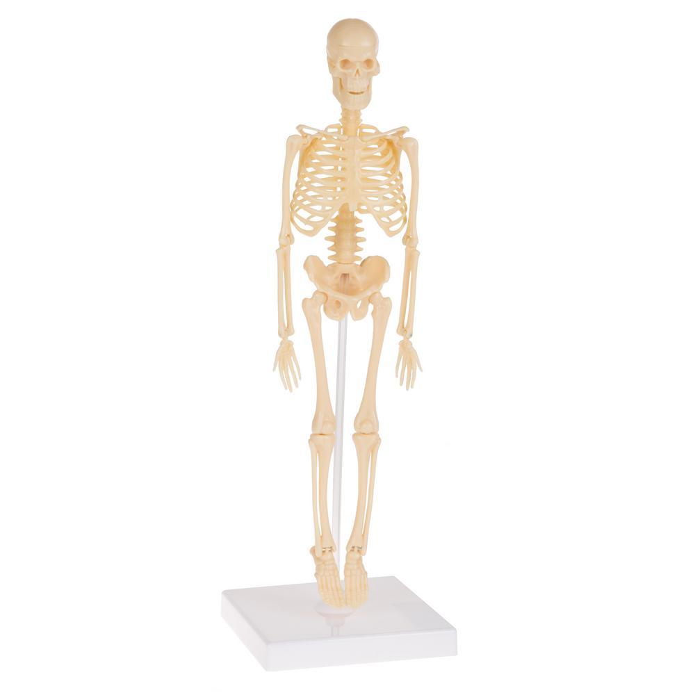 Human Skeleton Model Learning Kit