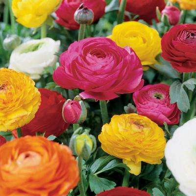 Butter Cups Ranunculus Double Blooming Mixed Bulbs (Set of 25)