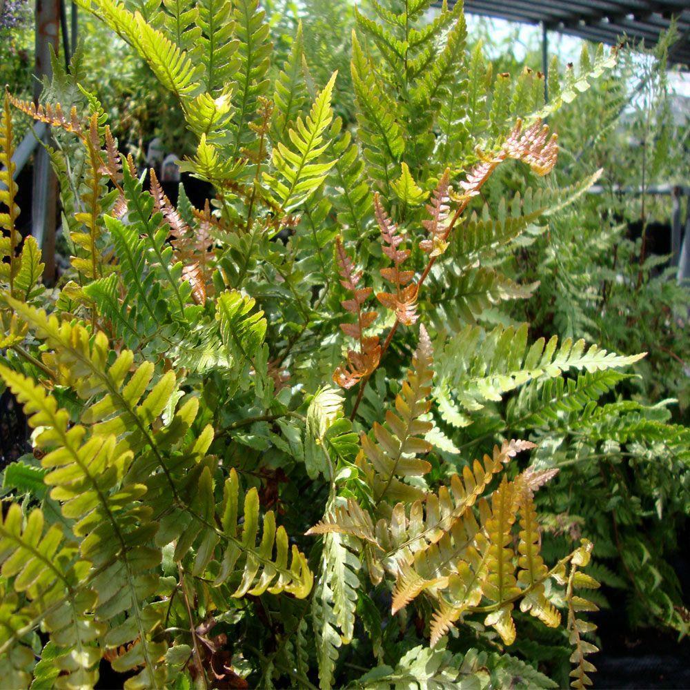 OnlinePlantCenter 1 Gal. Brilliance Autumn Fern Plant