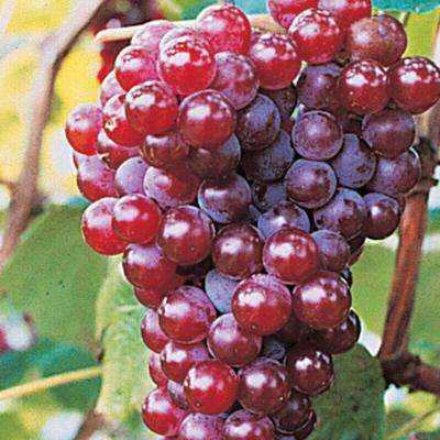 Red Canadice Seedless Grape (Vitis) Live Bareroot Fruiting Vine (1-Pack)