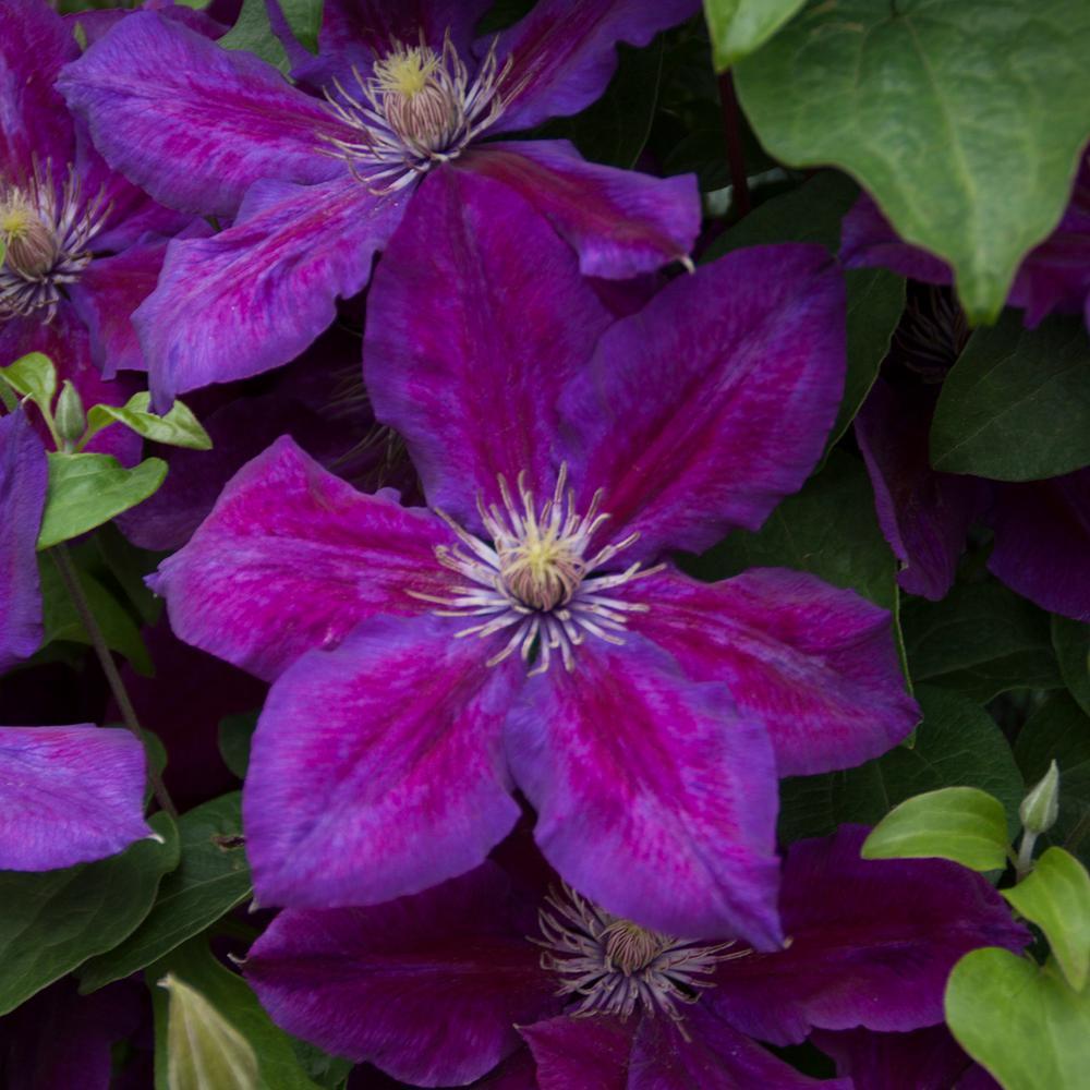 Spring Hill Nurseries 3 In. Pot Julka Clematis Vine Live Perennial Plant Vine with Purple Flowers (1-Pack)