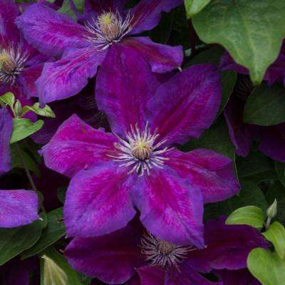 3 In. Pot Julka Clematis Vine Live Perennial Plant Vine with Purple Flowers (1-Pack)