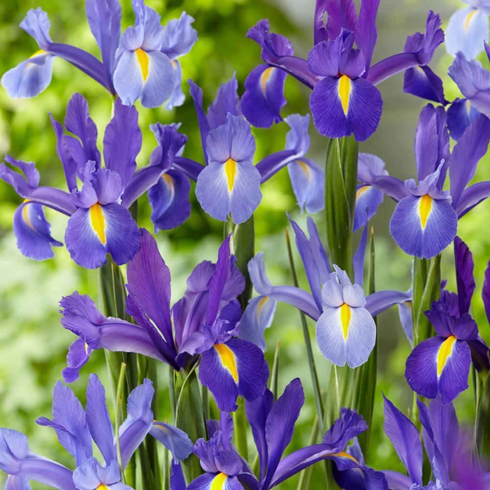 Van Zyverden Dutch Iris All-Blue Discovery Bulbs (25-Pack