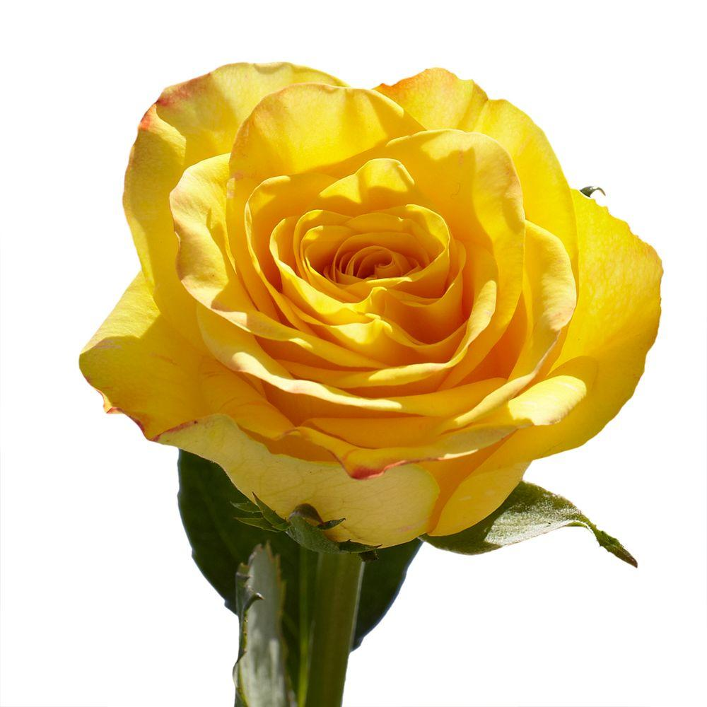 50 Yellow Roses Fresh Flower Delivery