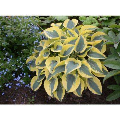0.65 Gal. Shadowland Autumn Frost (Hosta) Live Plant, Green and Yellow Foliage