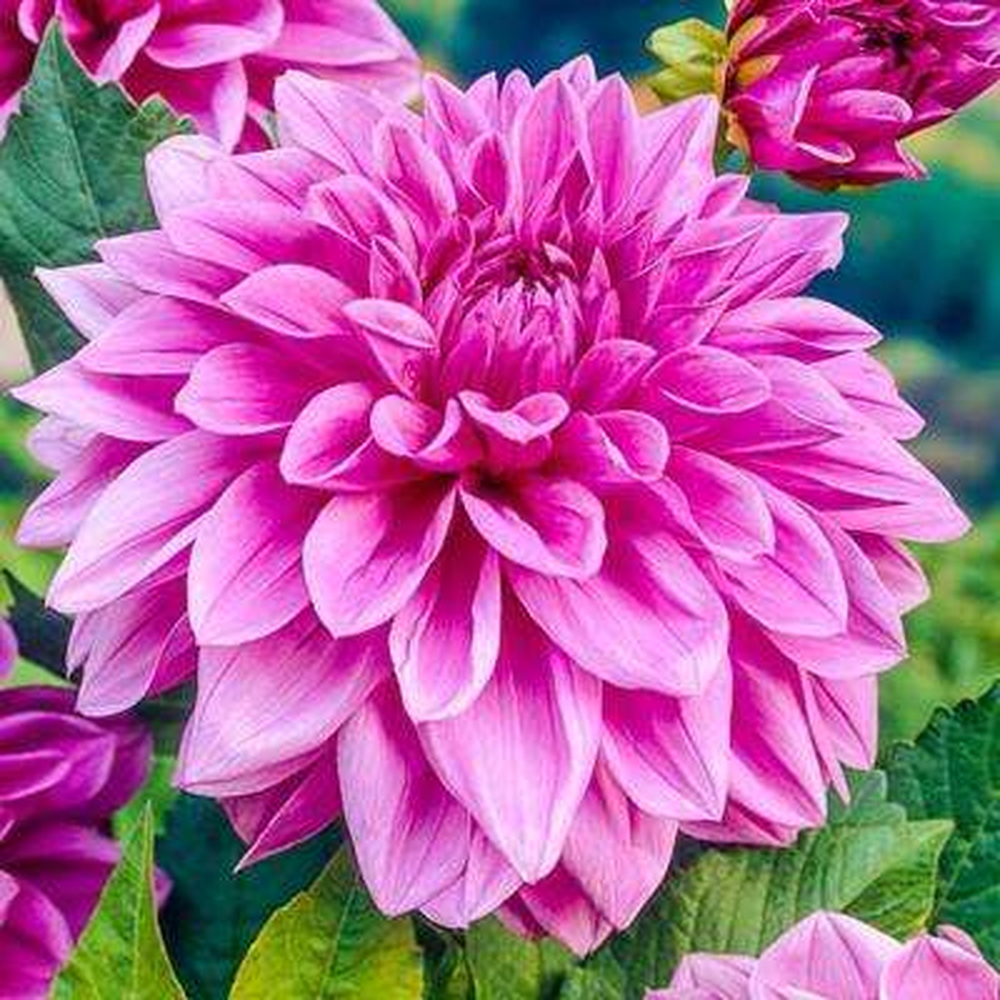 Lilac Time Dahlia Bulbs (5-Pack)