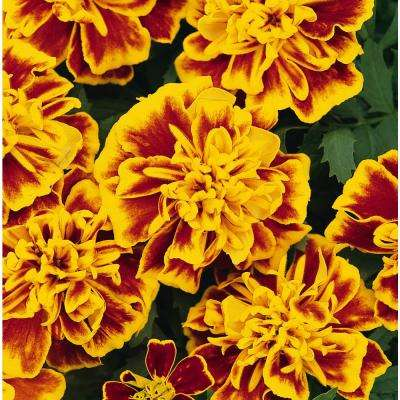 4 in. Bi-Color Marigold Plant (Pack of 6)