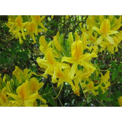 1 Gal. Copper Bush Honeysuckle Shrub Brilliant Yellow, Nectarfilled Flowers among Copper and Green Leaves