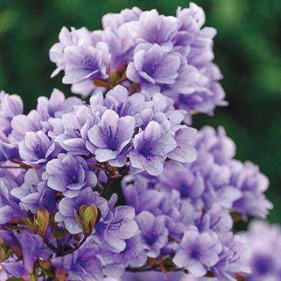 2 in. Pot Purple Gem Rhododendron, Live Broadleaf Evergreen Plant, Purple Flowering Shrub (1-Pack)