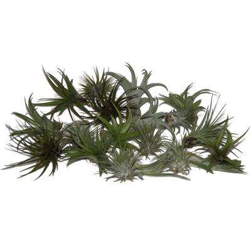 Tillandsia Air Plants Medium - Large Assorted (30 pack)
