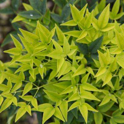 2 Gal. Lemon Lime Nandina, Live Evergreen Shrub, Lime Green New Foliage