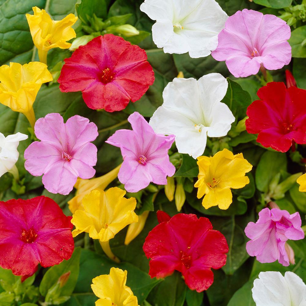 Flowering Perennial Four Oclock Perennials Garden Plants