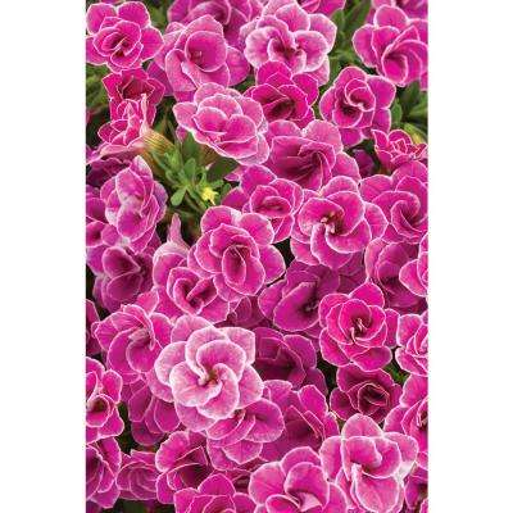 4-Pack, 4.25 in. Grande Superbells Doublette Love Swept (Calibrachoa) Live Plant, Pink Flowers