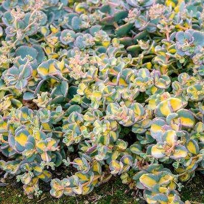 4 in. Pot Variegated Creeping Blue Sedum Live Deciduous Plant Blue and Yellow Foliage Groundcover Perennial (1-Pack)